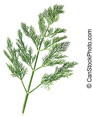 Dill herb - Dill green leaf closeup on white background