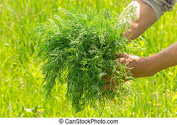 Dill in hand. Hands gardener Work-worn hands. Farmers hands with freshly dill.
