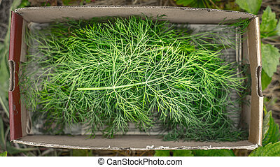 Dill in the box top view