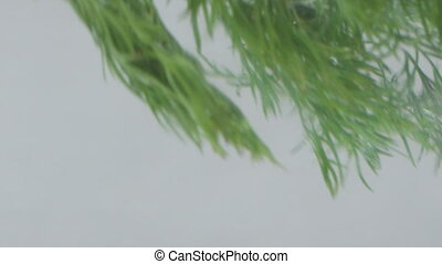 Dill in Water - Dill floating in water. Close-up shot