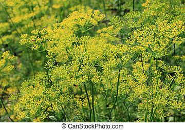 Dill plant (Anethum graveolens) - perennial edible herb