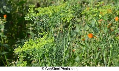dill plant rural garden - closeup of natural dill fennel...