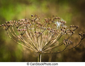 dill seeds in the garden