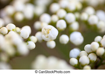 diminuto, brotes, de, rowan, flores blancas