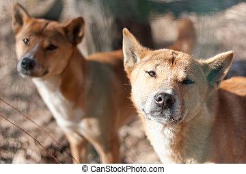 dingo, ギニー, (canis, 犬, hallstromi), 新しい, 歌うこと
