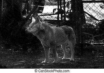 Dingo in Queensland Australia