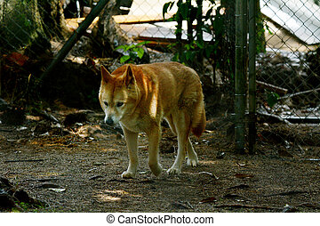 Dingo in Queensland Australia