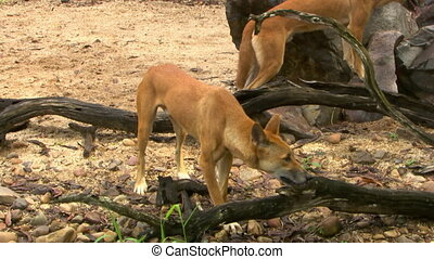 Dingo Licking Inside Tree Branch - Handheld, medium close up...