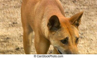 Dingo Nervously Walking - Handheld, close up shot on a...