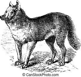 Dingo vintage engraving