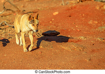 Dingo walking in outback