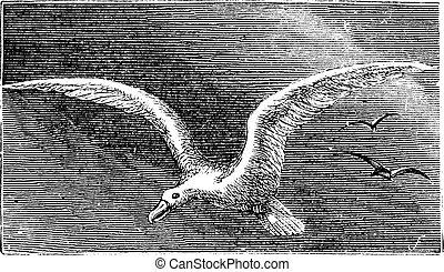 diomedea, incisione, albatro, albastross, nevoso, albatro, ...