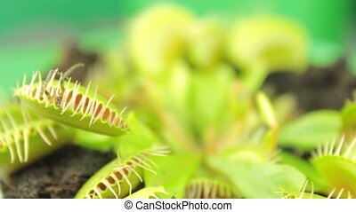 ), (, dionaea, plant., венера, плотоядный, muscipula, ...