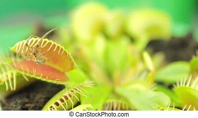 ), (, dionaea, wenusjański, muscipula, flytrap