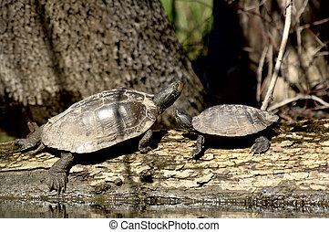 Dipinto tartarughe dipinto stagno due tartarughe for Stagno tartarughe