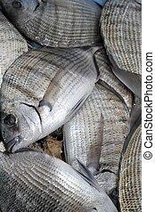 Diplodus Sargus white seabream fish - Diplodus Sargus white ...