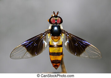 (diptera), בעל חיים, drosophila, דמות, חרק, melanogaster, ...