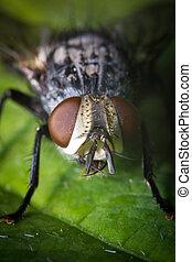 Diptera Brachycera House Fly - Extreme close up macro house...