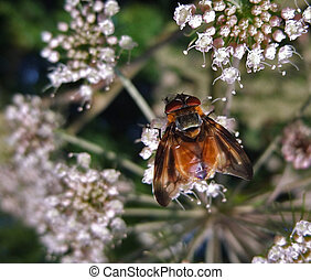 Diptera in natural back - fly on wild carrot flower, seen...