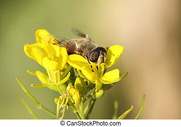 diptera syrphidae insects on the flowers, take photos in the...
