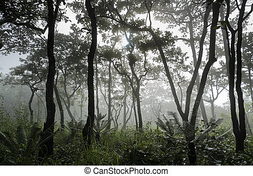 Dipterocarp forest in foggy morning, Thailand