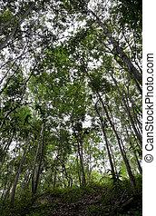 Dipterocarp forest in Thailand