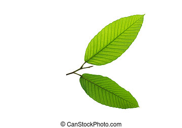 (Dipterocarpus alatus Roxb. ex G.Don), leaf form and texture