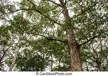 Dipterocarpus alatus Roxb tree in rain forest, Thailand
