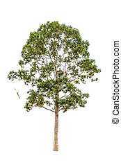 Dipterocarpus alatus, tropical forest tree, of dense...