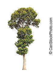 Dipterocarpus alatus, tropical tree in the northeast of ...