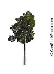 dipterocarpus tree isolated on white background with ...
