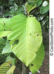 Dipterocarpus tuberculatus Roxb. in forest Thailand