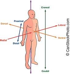 direcciones, corporales