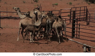Directing camels to cage paths, Northern Territory -...