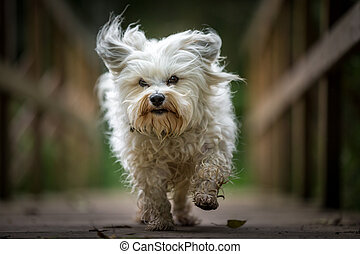 Directly towards the camera - A small white Havanese runs...