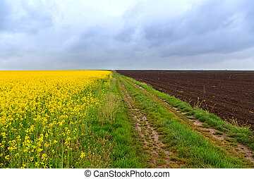 Dirt road and canola fields