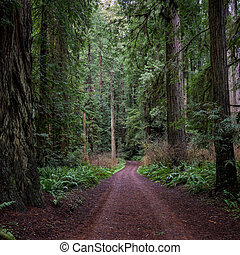 Dirt Road Cuts Through Redwood Forest