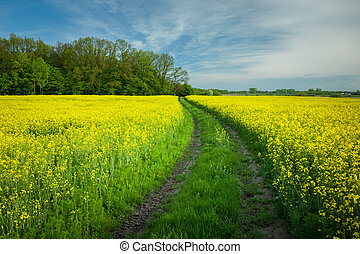 Dirt road in a field of yellow rape