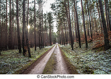 Dirt road in a pine forest in winter