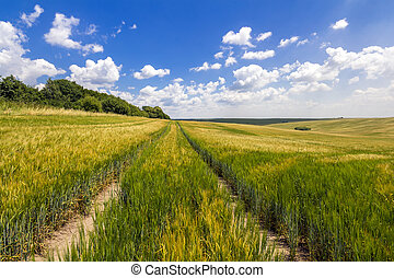 Dirt road in green wheat field in a sunny day