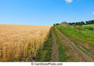 Dirt road near field of wheat under blue sky