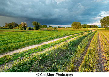 Dirt road through fields with grain and a rain cloud on the sky, summer rural landscape