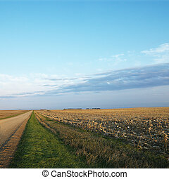 Dirt road with cornfield.