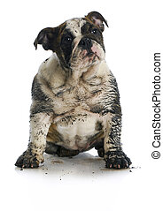 dirty dog - muddy english bulldog puppy sitting on white background