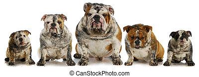 dirty dogs - five muddy english bulldogs