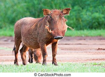 Dirty female Warthog eating short green grass
