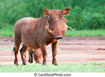Dirty female Warthog eating short green grass