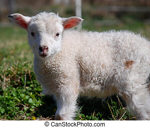 dirty lamb - Dirty lamb standing on grass looking into the ...