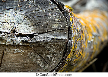 Dirty old log with yellow fungus - Close up of dry old log...