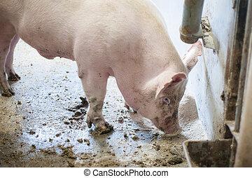 Dirty pig standing in mud